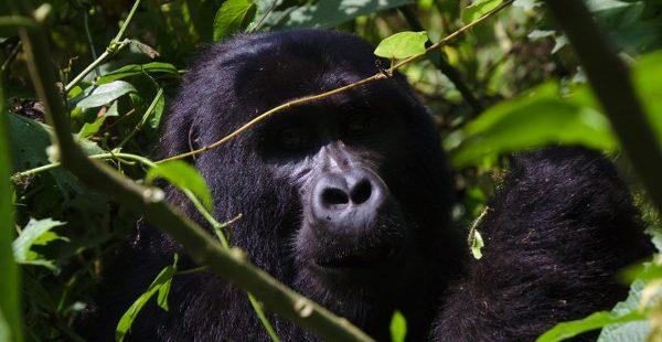 4 Days Rwanda Golden Monkey Tracking & Gorilla Trekking Tour Uganda