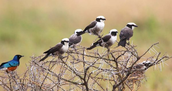Bird species in Serengeti National Park