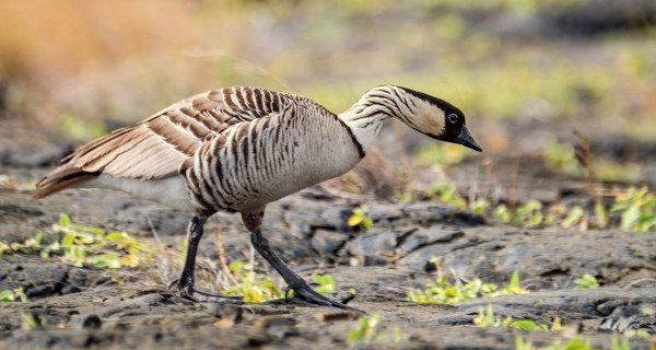 Birds in Volcanoes National Park