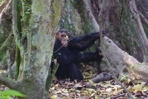 Chimpanzee Tracking in Kibale Forest
