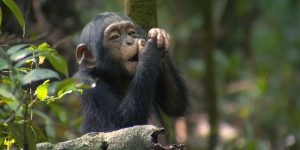 Chimpanzee trekking in the Kyambura gorge