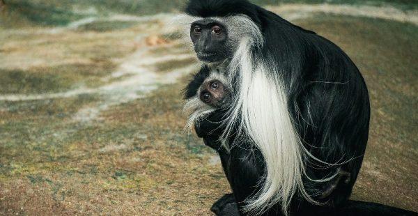 Colobus monkeys rwanda