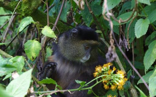 Golden Monkeys in Volcanoes National Park