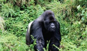 Gorilla trekking in Bwindi Impenetrable National