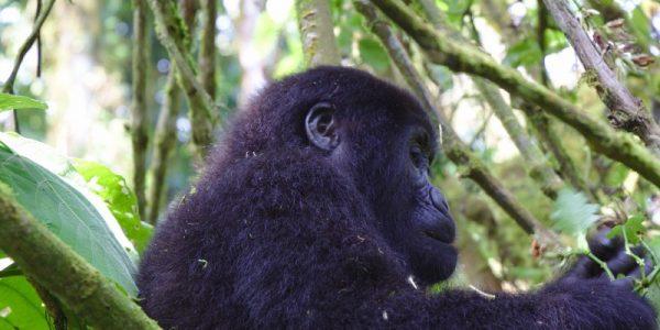 Gorilla trekking in Bwindi uganda