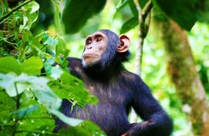 Kibale Forest National Park - 12 Days Uganda wildlife, chimpanzee and gorilla trekking safari