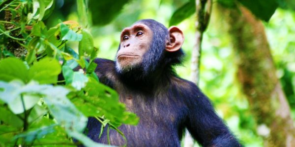 Kibale Forest National Park - 12 Days Uganda wildlife, chimpanzee and gorilla trekking safari