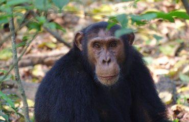 Kibale Forest & visit Bigodi swamp