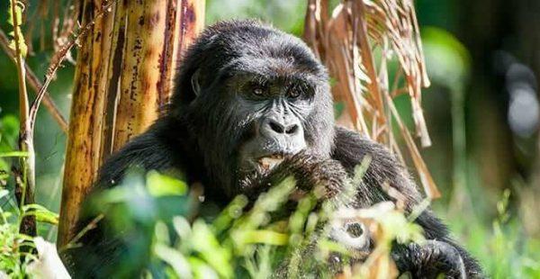Long rwanda safaris