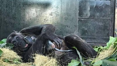 Natasha, world's most intelligent chimp gives birth to 4th baby of Ngamba Island Chimpanzee Sanctuary