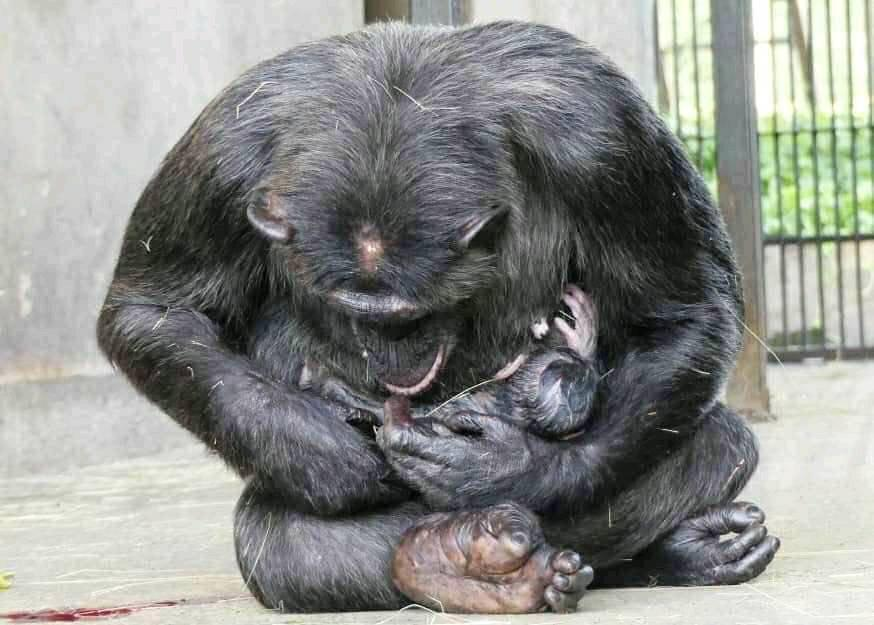 Natasha, a female chimpanzee of Ngamba Island Chimpanzee Sanctuary who was named the world's most intelligent chimpanzee gave birth to a baby girl, the 4th born baby chimpanzee in the Sanctuary.