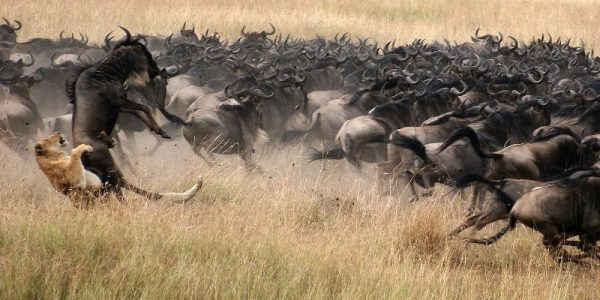 Wildebeest migration - Kenya Safaris