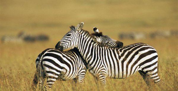Wildlife Maasai Mara National Reserve