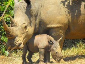 Ziwa Rhino Sanctuary - 12 Days Uganda wildlife, chimpanzee and gorilla trekking safari