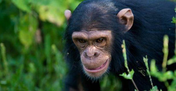 chimp trekking rwanda