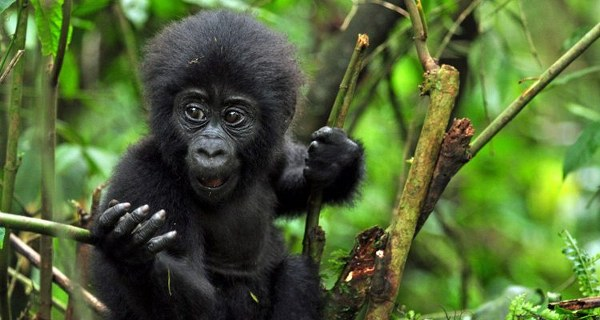 gorilla trekking safaris in volcanoes national park