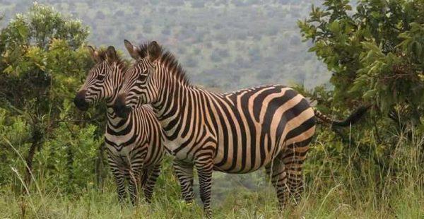 wildlife in akagera national park